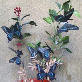 Papilio maackii Maschio 2
