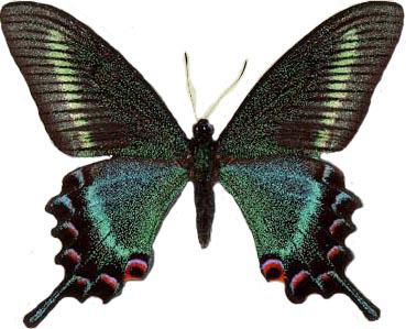 Papilio maackii Maschio