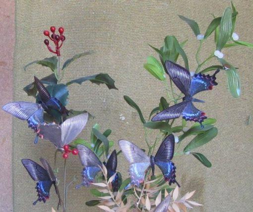 Papilio maackii femmina