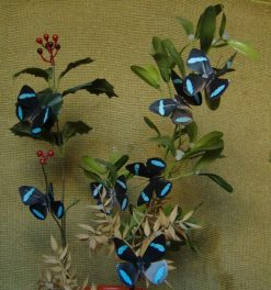Nessaea hewitsoni