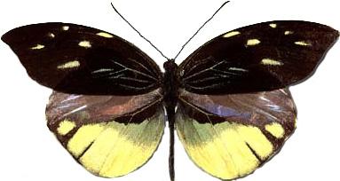 Dismorphia nemenis