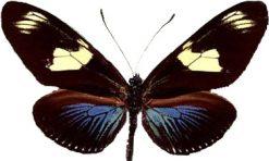 Heliconius doris
