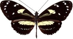 Heliconius atthis