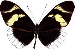Heliconius eleuchia