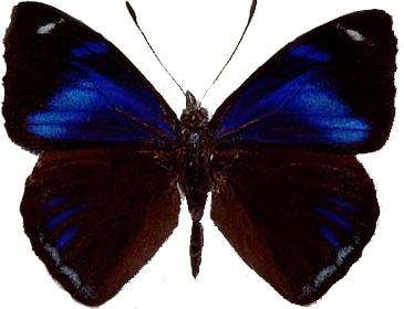 Perisama philinus