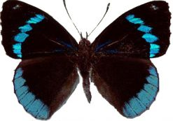 Perisama philinus F.