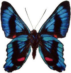 Ancyluris heliboeus