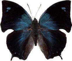 Ananea morvus philumena