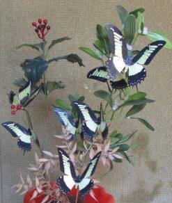 Papilio androgeos