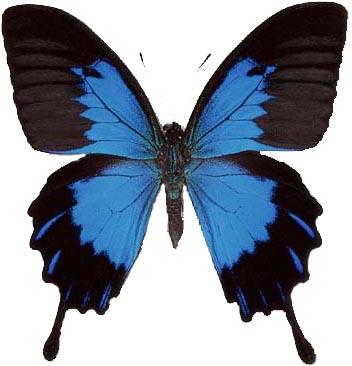 Papilio Ulysses 1
