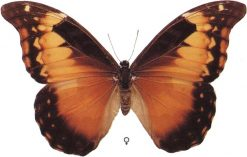 Morpho rhetenor femmina