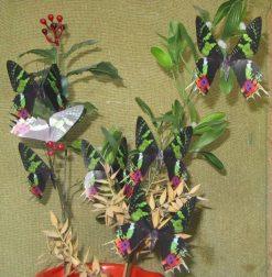 Chrysiridea riphearia