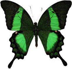 Papilio palinurus daedelus