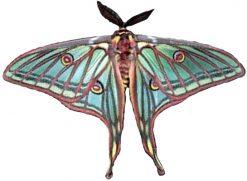 Graellsia isabellae