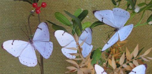 Morpho laertes - Idea Farfalle