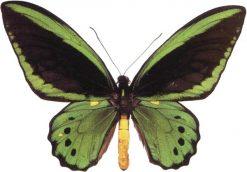Ornithoptera priamus