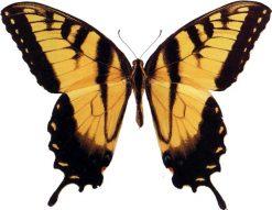 Papilio glaucus