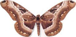 Dactylocerus swanzii