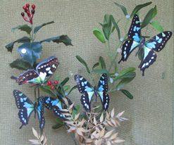 Graphium stresemanni
