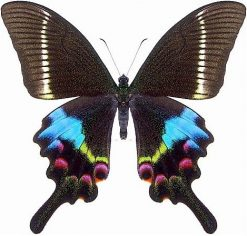 Papilio Krishna Krishna