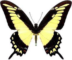 Papilio lycophron phanias
