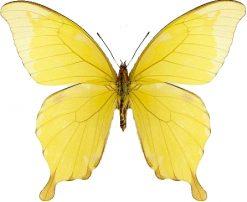 Papilio nobilis crippsianus