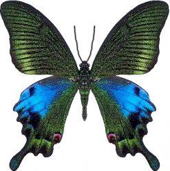 Papilio hoppo