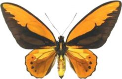 Ornithoptera croesus lydius