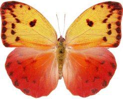 Phoebis avellaneda femmina