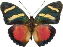 Euphaedra zaddacchi