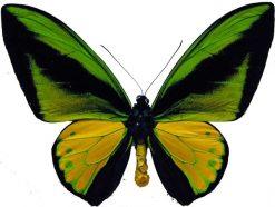 Ornithoptera goliath joycei