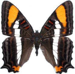 Adelpha diocles creton