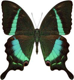 Papilio crino