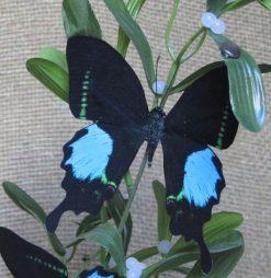 Papilio paris tamilana