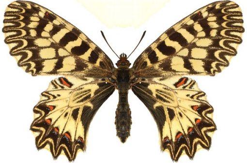 Zerynthia polyxena 1